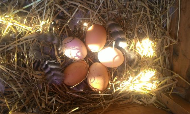 ニワトリの卵を回収するのも楽しみの1つ