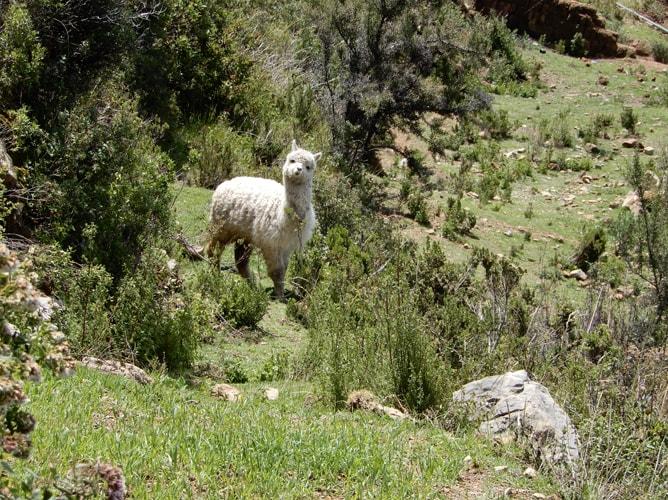 段々畑から顔を覗かせる可愛いアルパカ