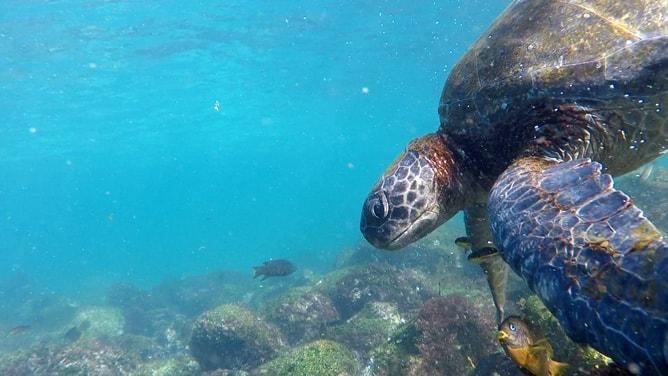 ガラパゴスアオウミガメの食い散らかしに集る魚たち