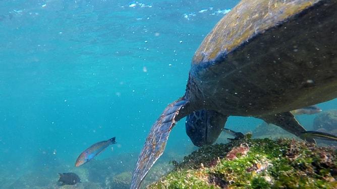 海藻を食べるガラパゴスアオウミガメ