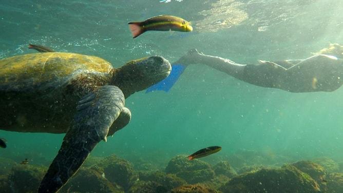 ガラパゴスアオウミガメと魚と泳ぐ