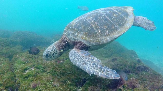海中のガラパゴスアオウミガメ