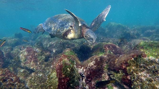 空を飛ぶように泳ぐガラパゴスアオウミガメ