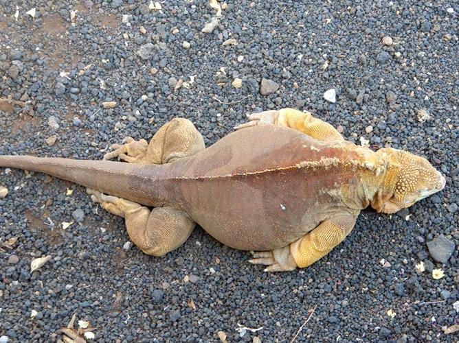 眠るガラパゴスリクイグアナの大きなお腹
