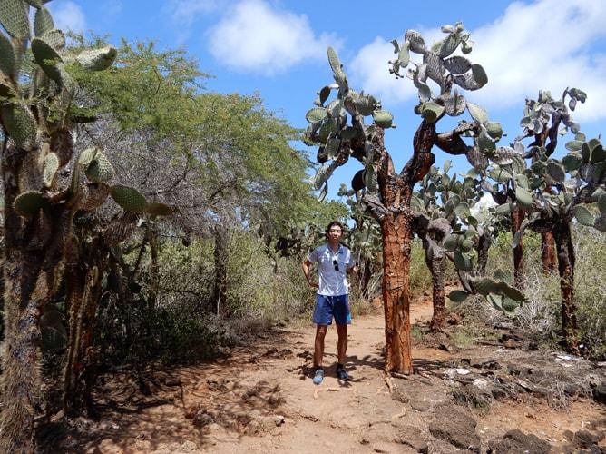 幹が木にしか見えないガラパゴスウチワサボテン