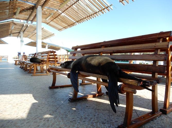ベンチの上に寝そべるガラパゴスアシカ