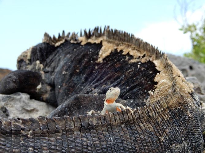 ガラパゴスウミイグアナと小さなトカゲ