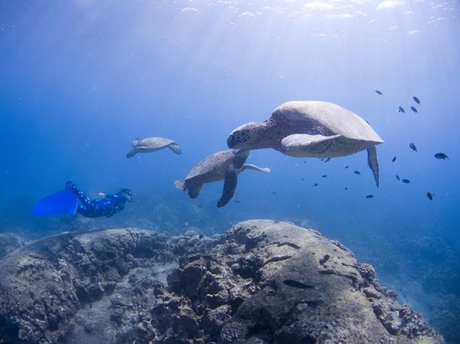 ハワイ・オアフ島で3匹のウミガメと泳ぐフリーダイバー