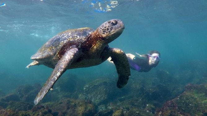 ガラパゴスアオウミガメと競泳?
