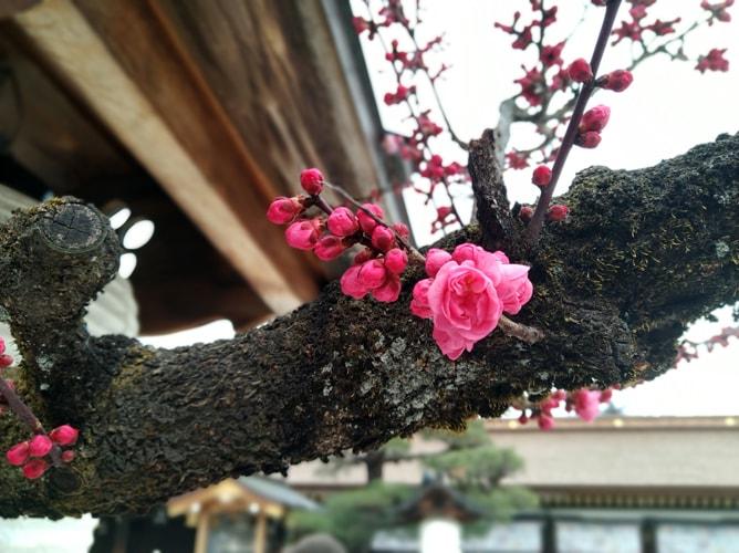 北野天満宮の紅梅 2019年2月27日撮影