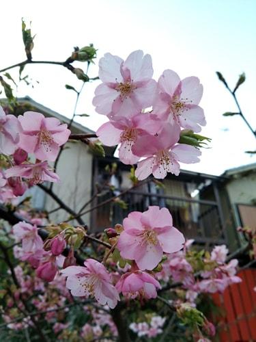 車折神社満開の早咲き桜 2019年3月1日撮影