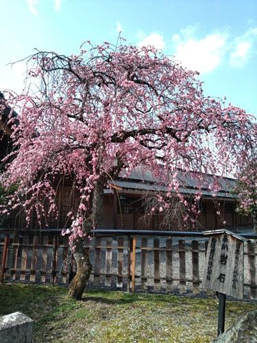 車折神社の早咲き桜 2019年3月1日撮影