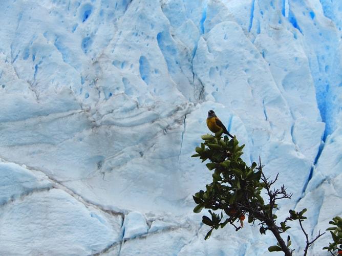 パタゴニアで良く見掛ける黄色の小鳥とペリトモレノ氷河