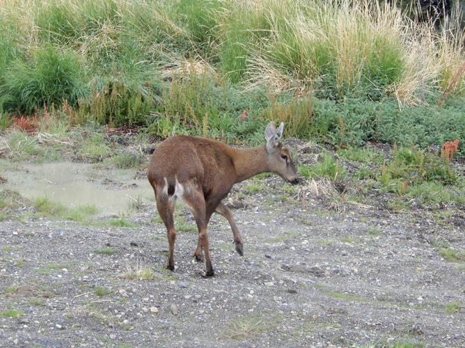 パタゴニアでの珍しい動物「南アンデス鹿」