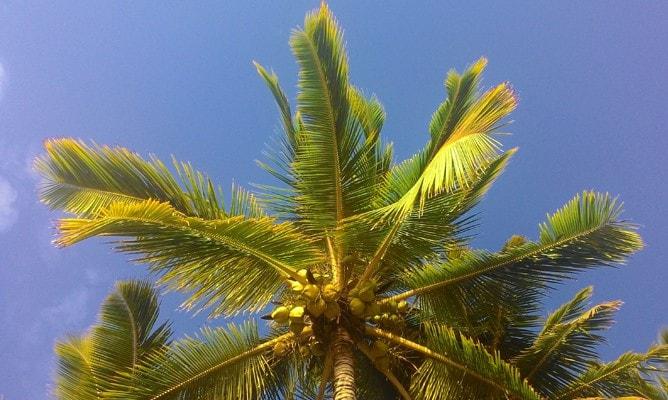 ココナッツの木と青空の写真(クック諸島「ラロトンガ島」)