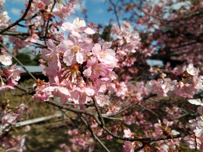清凉寺(嵯峨釈迦堂)満開の早咲き桜 2019年3月8日撮影