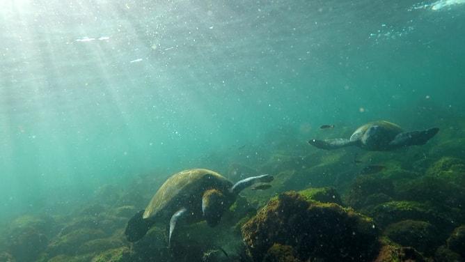 ガラパゴスアオウミガメ、別の二匹と遭遇!