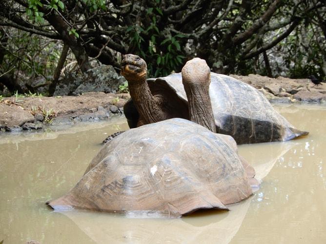 水浴びをする二匹のガラパゴスゾウガメ